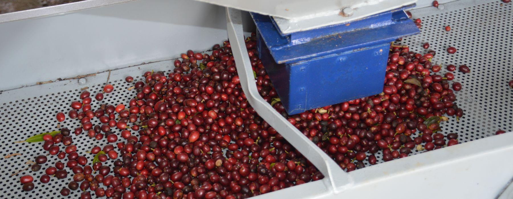 Farmers Voice Demeter Kaffee Camocim Aufbereitung