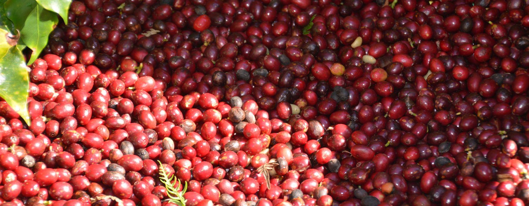 Farmers Voice Demeter Kaffee Camocim Kaffeekirschen